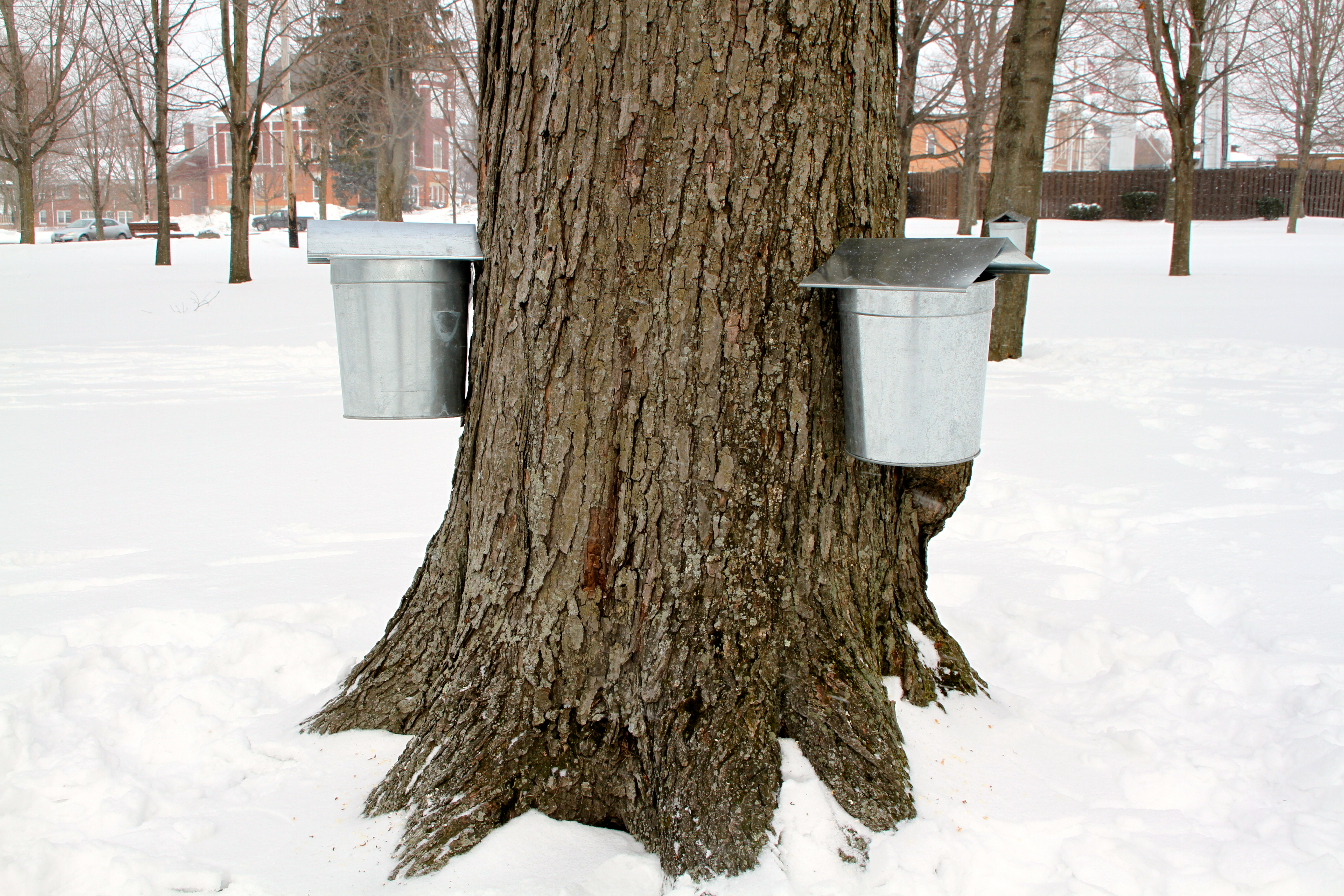 Maple syruping season kicks off in burton geauga county maple leaf